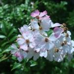 アズマイバラ 花の様子