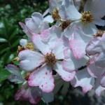ノイバラの近縁 アズマイバラ 花の姿