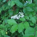 コゴメウツギ 花の咲いている様子