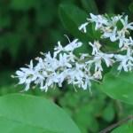 Lace shrub / コゴメウツギ