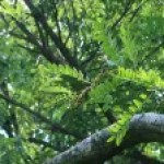 Japanese honey locust/ サイカチ