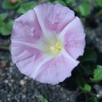 ハマヒルガオ 花の姿
