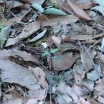 ウメガサソウ 花の咲いている様子