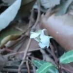 Chimaphila japonica/ ウメガサソウ