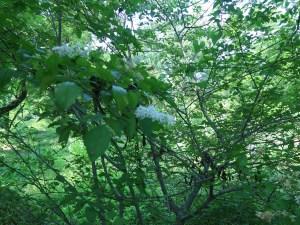 イボタノキ 花の咲いている様子