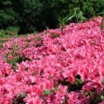 ツツジ サツキ 花の咲いている様子