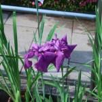 ハナショウブ 花の姿 品種:先陣