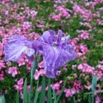 ハナショウブ 花の姿 品種:紅葉山
