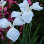 ハナショウブ 花の姿 品種:大雪渓