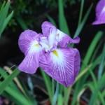 ハナショウブ 花の姿 品種:最上