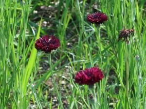 ヤグルマギク チョコレート色 花の様子