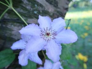 クレマチス 花の姿