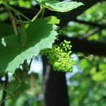 ブドウ メンデルのブドウ