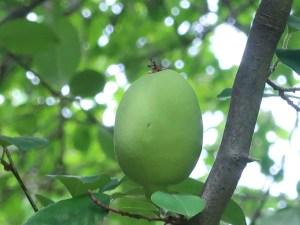 カリン 若い果実の様子