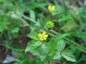 ケキツネノボタン 花と実の姿