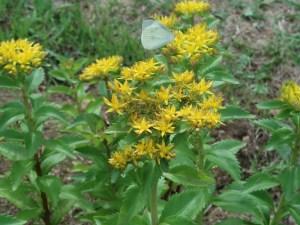 ホソバノキリンソウ 花の咲いている様子
