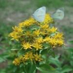 ホソバノキリンソウ 花の様子 白い蝶と
