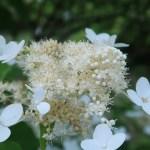 ノリウツギ 花の姿 アップ