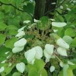 Japanese hydrangea vine / イワガラミ