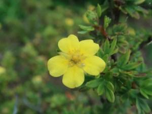 キンロバイ 花の姿 アップ