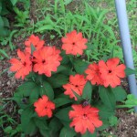 マツモトセンノウ 花の咲いている様子