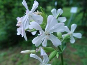 サポナリア 花の姿 アップ