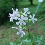 Common soapwort/  サポナリア