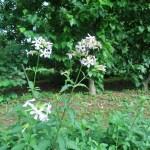 サポナリア 花の咲いている様子