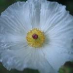 シロアザミゲシ 花の姿 アップ