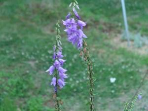 ハタザオキキョウ 花の咲いている様子
