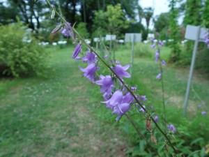 ハタザオキキョウ 花の様子