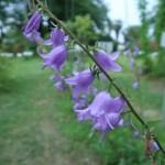 ハタザオキキョウ 花の姿