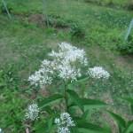 ヒヨドリバナ 花の様子