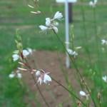 ハクチョウソウ 花の咲いている姿