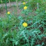 アザミゲシ 花の咲いている様子