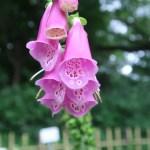 ジギタリス 花の姿