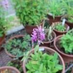 カッコウチョロギ 花の様子