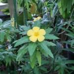 ターネラ・ウルミフォリア 花の様子