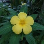 ターネラ・ウルミフォリア 花の姿 アップ