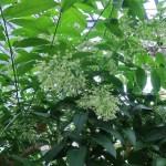 ヤコウカ 花の咲いている様子