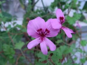 テンジクアオイ シナモンゼラニウム 花の姿