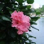 ハイビスカス ブッソウゲ 八重のピンクの花