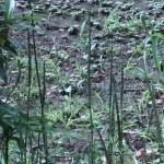 シライトソウ 花が終わった夏の植物の様子