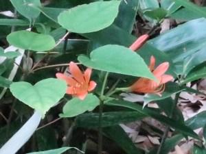 キツネノカミソリ 花の様子