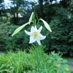 テッポウユリ 花の咲いている様子