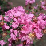 サルスベリ 花の姿