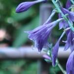 ギボウシ 花の姿