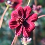 チョコレートコスモス 花の姿 品種名 チョコモカ