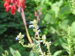 ボックセージ 花の様子