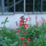 サルビア・コクシネア 花の様子